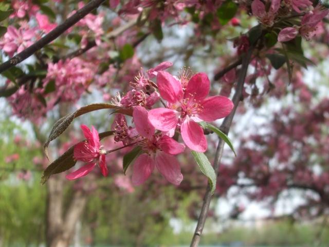 floraisons des arbres et des arbustes - Page 6 Dscf0113