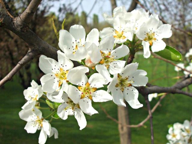 floraisons des arbres et des arbustes - Page 6 Dscf0210