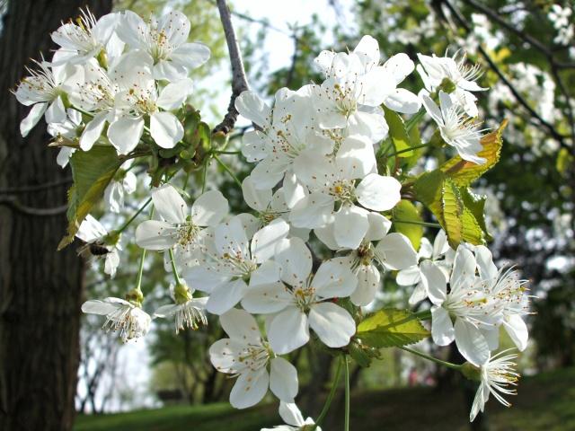floraisons des arbres et des arbustes - Page 6 Fleur_10