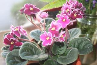 Les violettes africaines / violettes du cap(Saint Paulia). Entretien, espèces, des photos. Img_5310