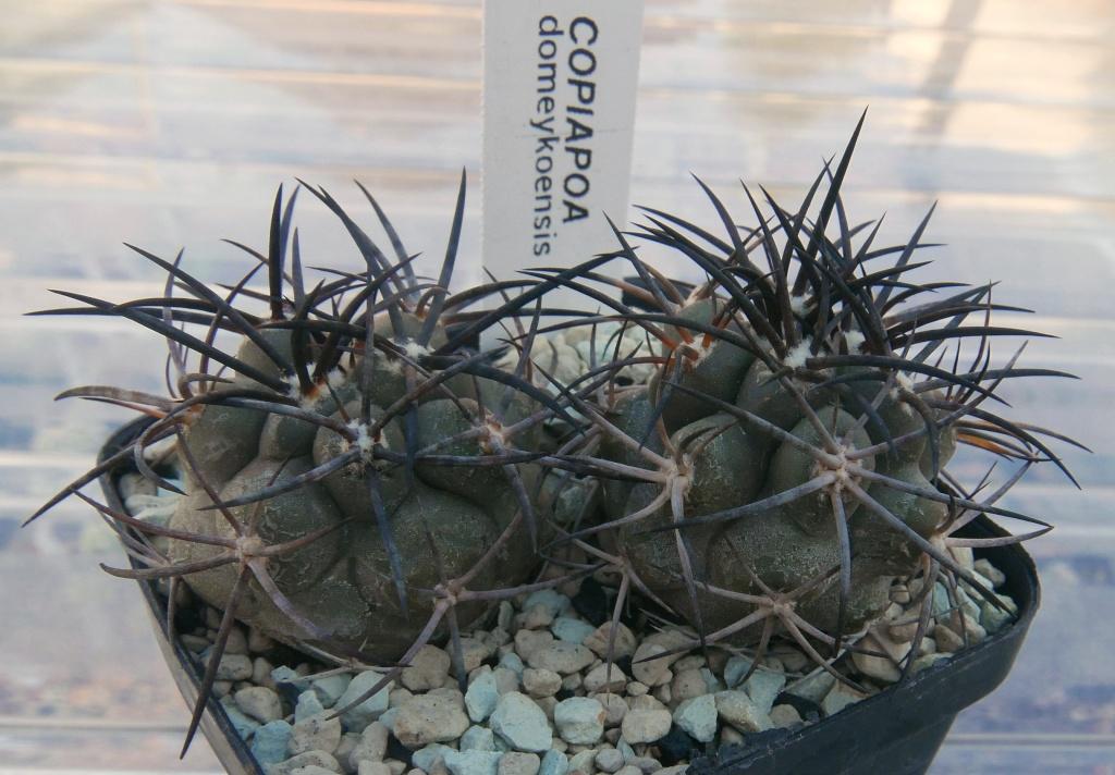 Copiapoa pseudocoquimbana var. domeykoensis Copiap10