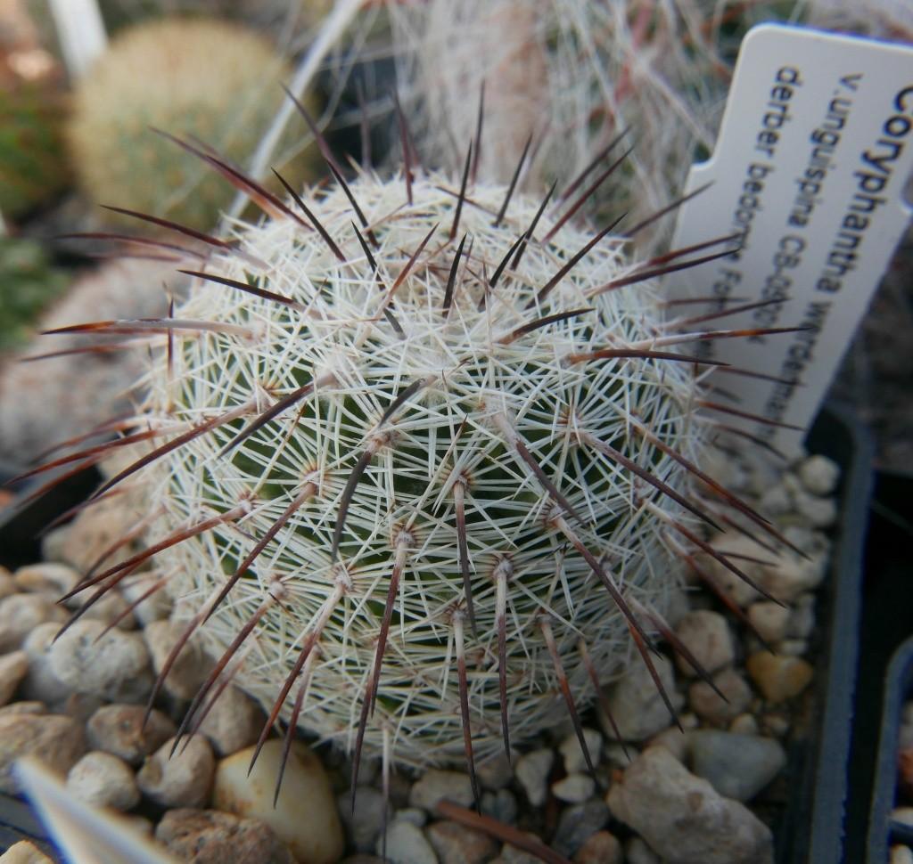Coryphantha werdermannii ssp. unguispina Coryph10