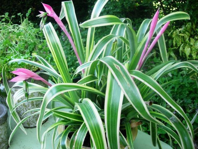 Billbergia nutans variegata Dscn0910
