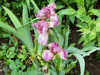 Iris rose 1 Abeille [identification non terminée] Dscn2116
