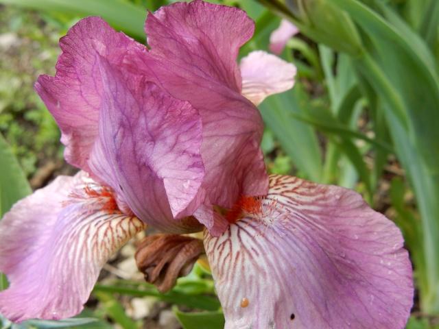 Iris rose 1 Abeille [identification non terminée] Dscn2213