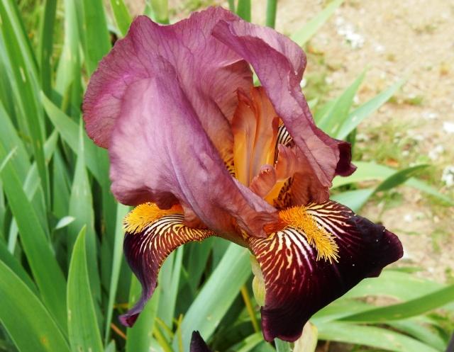 Iris rouge bitone 2 Abeille [identification non terminée] Dscn2313