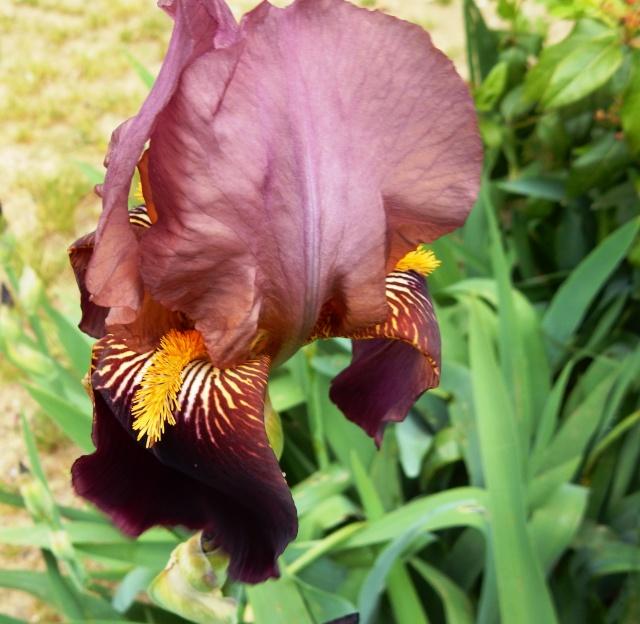 Iris rouge bitone 2 Abeille [identification non terminée] Dscn2314