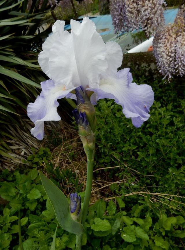 Floraisons 2016 de nos grands iris barbus et Bilan Dscn2316