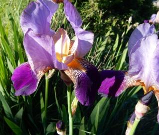 Floraisons 2016 de nos grands iris barbus et Bilan Dscn2320