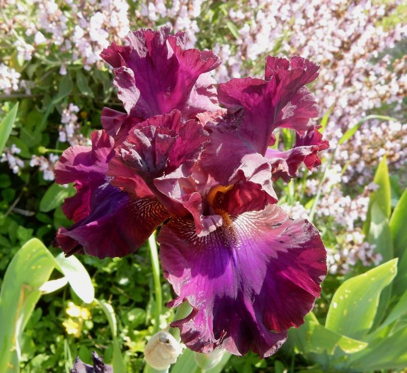 Floraisons 2016 de nos grands iris barbus et Bilan Dscn2330
