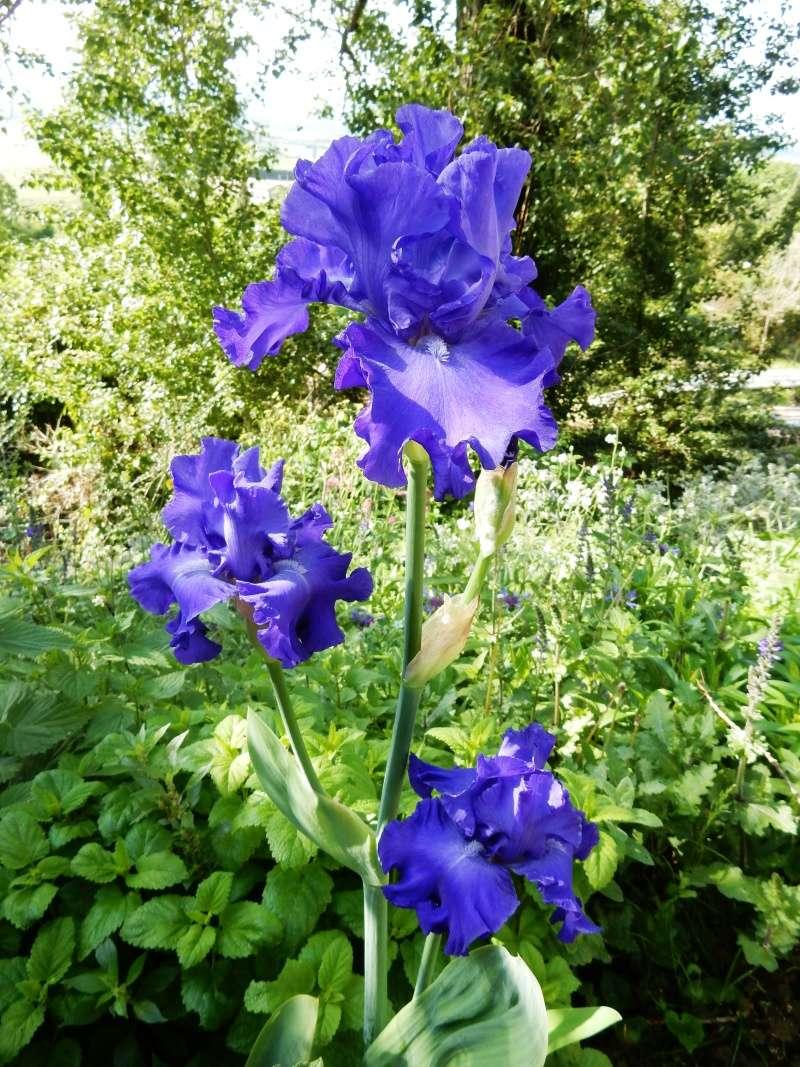 Floraisons 2016 de nos grands iris barbus et Bilan Dscn2332