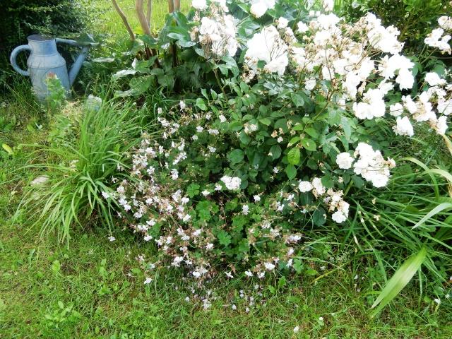 Geranium x cantabrigiense 'Biokovo' Dscn2613