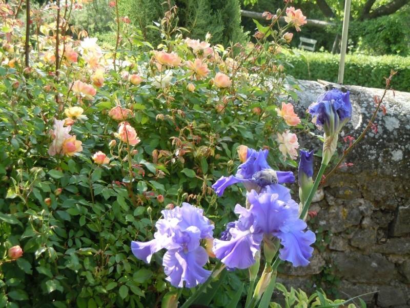 Associer nos iris à d'autres plantes pour de beaux massifs Iris_b10