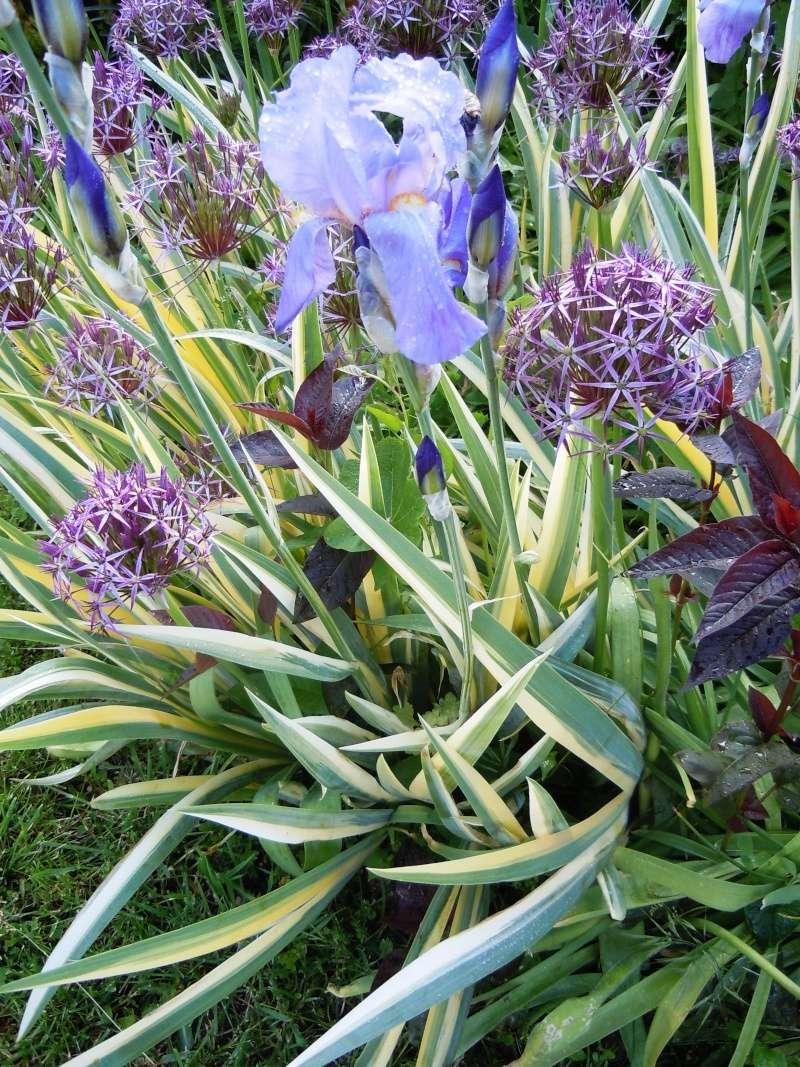 Associer nos iris à d'autres plantes pour de beaux massifs Palida10