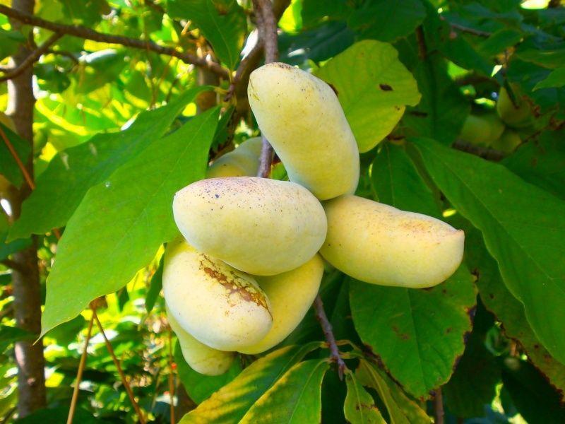 Fleurs,....fruit,.....tout ce qui se mange,...se boit....ou qui vient de la nature.......... - Page 13 A_asim10
