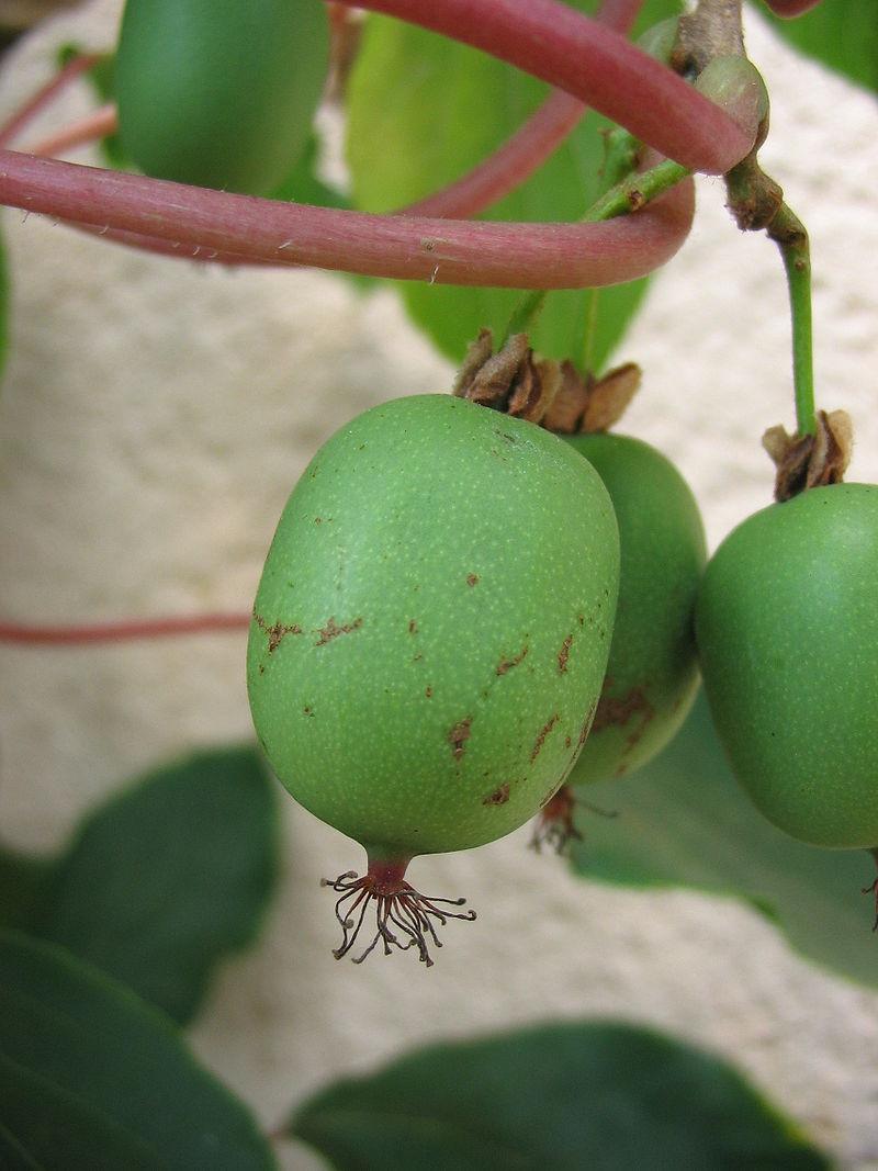 Fleurs,....fruit,.....tout ce qui se mange,...se boit....ou qui vient de la nature.......... - Page 14 A_kiwa10
