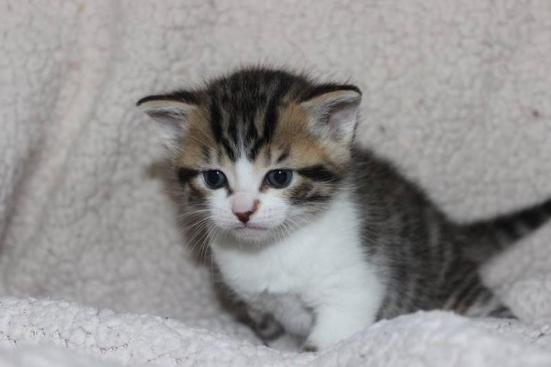 Môh - Tabby et blanc - né le 2 Mars 2016 12670510