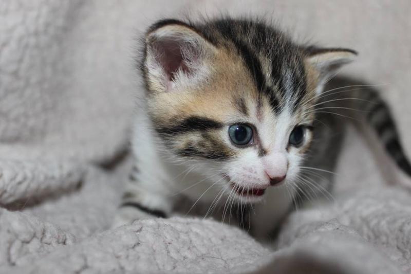 Môh - Tabby et blanc - né le 2 Mars 2016 12801510