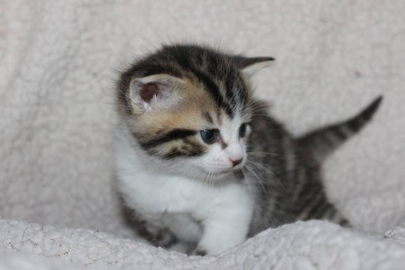 Môh - Tabby et blanc - né le 2 Mars 2016 12923210
