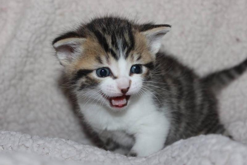 Môh - Tabby et blanc - né le 2 Mars 2016 12933110