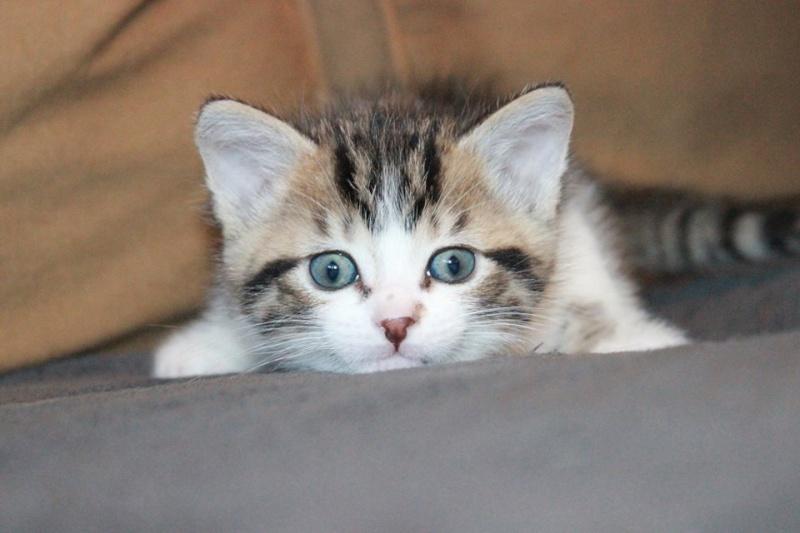 Môh - Tabby et blanc - né le 2 Mars 2016 12994511