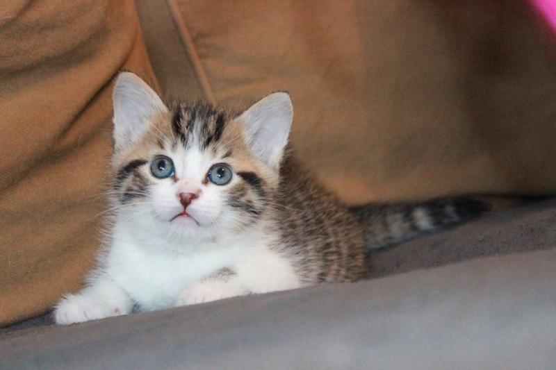 Môh - Tabby et blanc - né le 2 Mars 2016 13001110