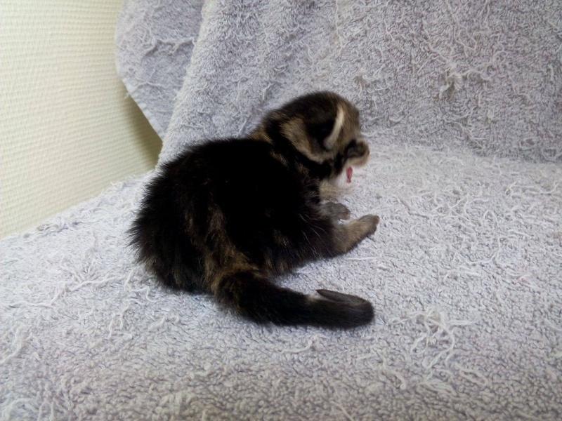 Macaron - Tabby - né le 26/04/2016 13090711