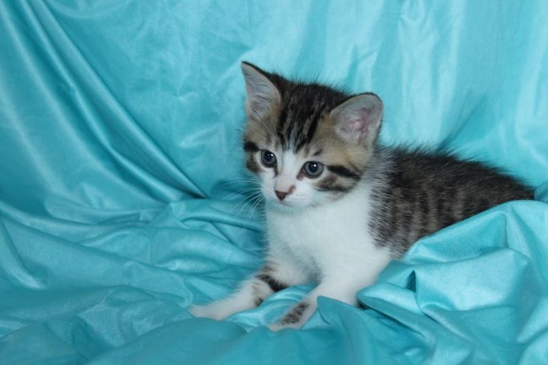 Môh - Tabby et blanc - né le 2 Mars 2016 Img_5313