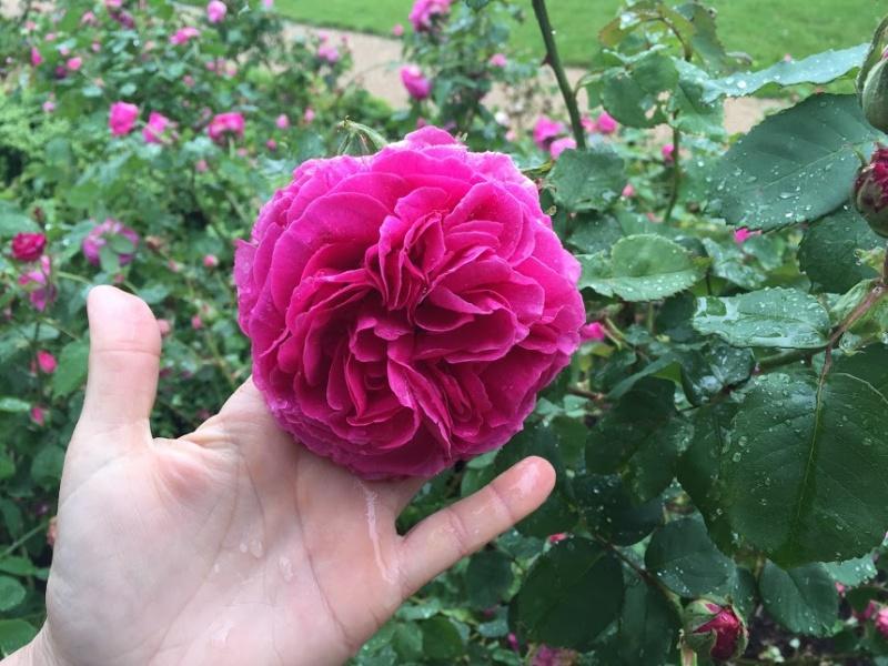 Visite de la roseraie de la Malmaison - Page 3 Damaiz10
