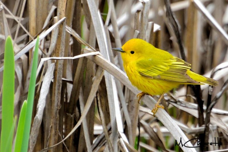 Paruline jaune 79010