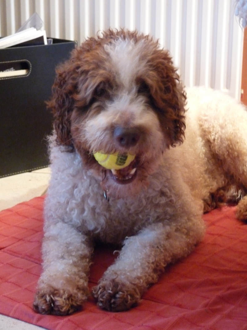 Boggy - chien d'eau Espagnol - 2 ans - Adopté P1050910