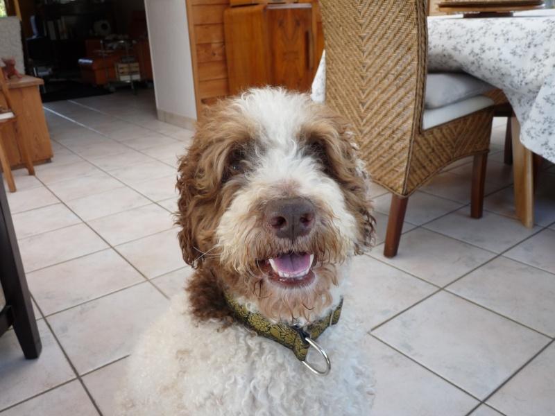 Boggy - chien d'eau Espagnol - 2 ans - Adopté P1050912
