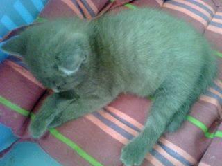 Inox, magnifique chaton gris Image18