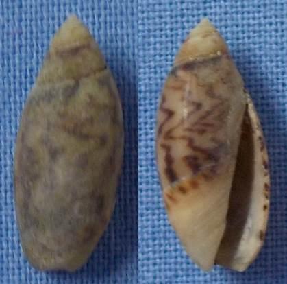 Petite coquille des Canaries à identifier 15mm10