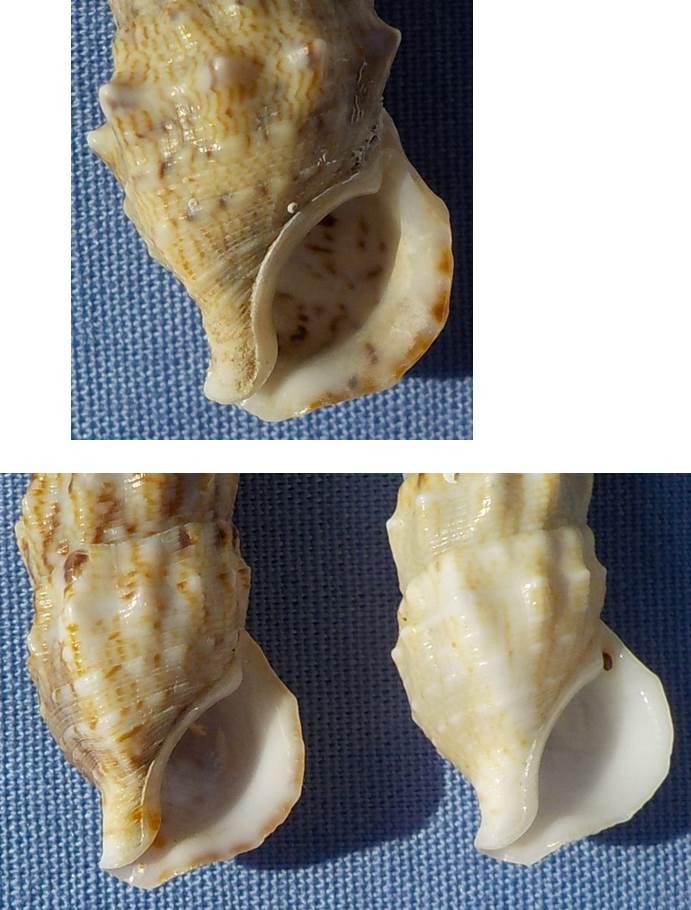 Coquille de Méditerranée à identifier (3) = C. vulgatum pour le 3, et C. alucastrum pour les 1 et 2 3_ceri10