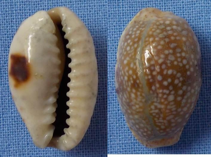 Cypraea à confirmer = C. erosa Cyprae12