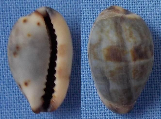 Cypraea à confirmer = C. gracilis Cyprae13