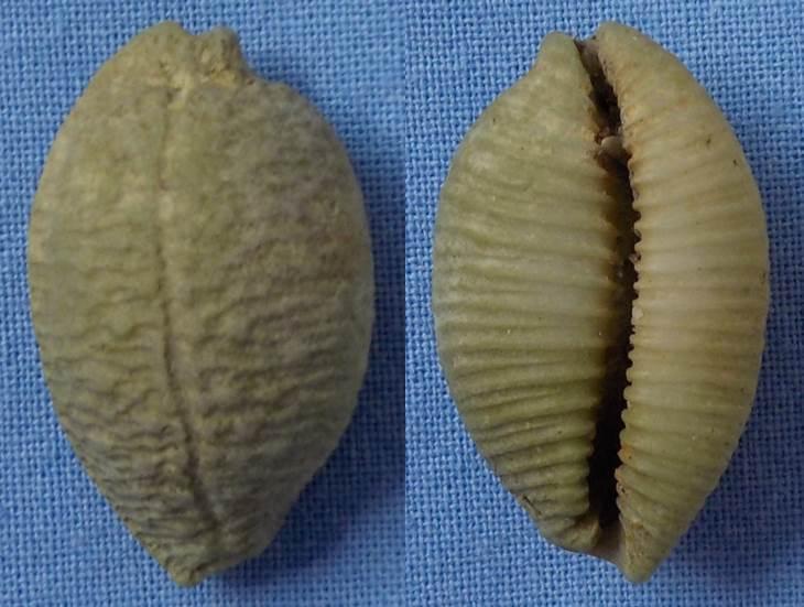 Cypraea à identifier Cyprae14