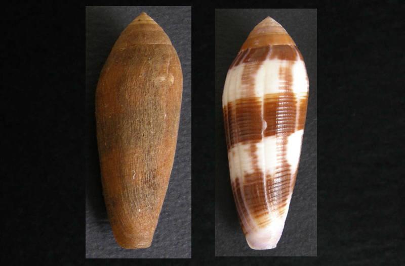Avec et sans periostracum Violac10