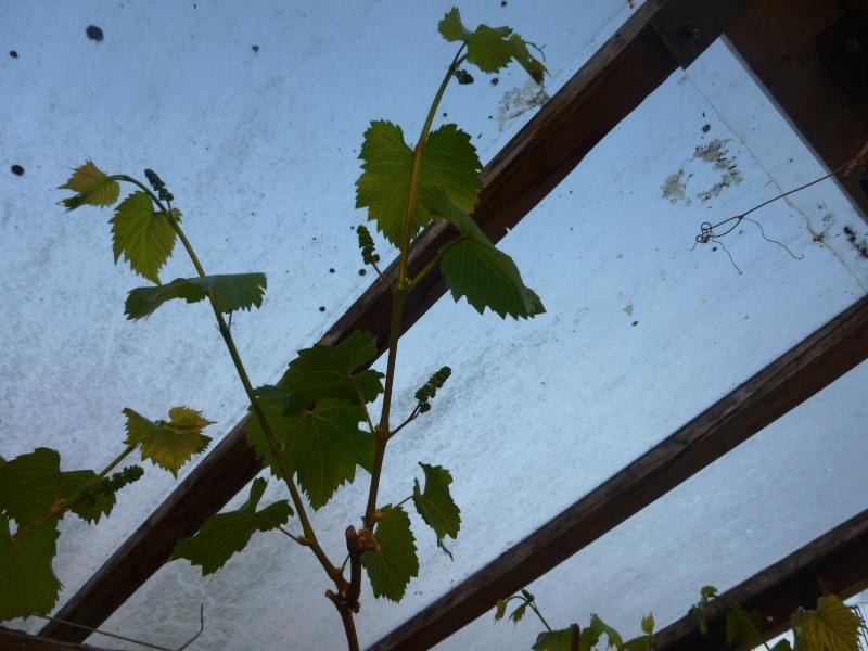 taille de vigne  P1000810