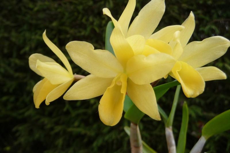Cattleya x guatemalensis P1340512