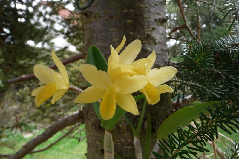 Cattleya x guatemalensis P1340513