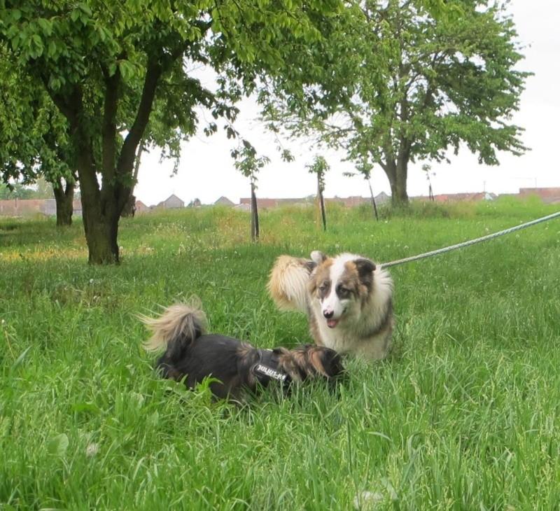 INDIANE, chiot femelle, née en juillet 2015 (Pascani) - adoptée par Gwenaelle et Christophe (dpt88) - Page 2 13225010