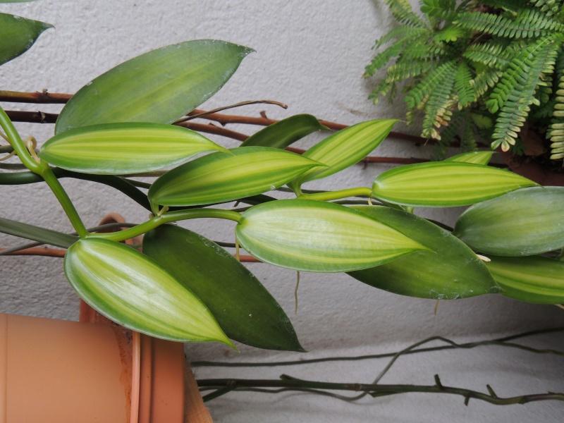 Culture et Entretien de la Vanilla Planifolia - Page 5 Dscn2111