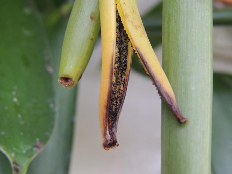 Culture et Entretien de la Vanilla Planifolia - Page 5 Dscn2112