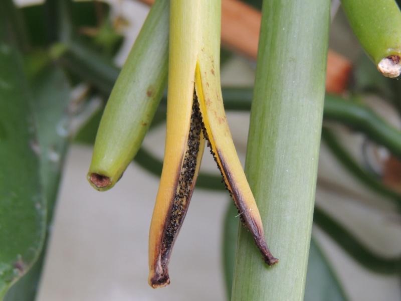 Culture et Entretien de la Vanilla Planifolia - Page 5 Dscn2113