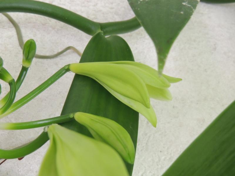 Culture et Entretien de la Vanilla Planifolia - Page 5 Dscn2223