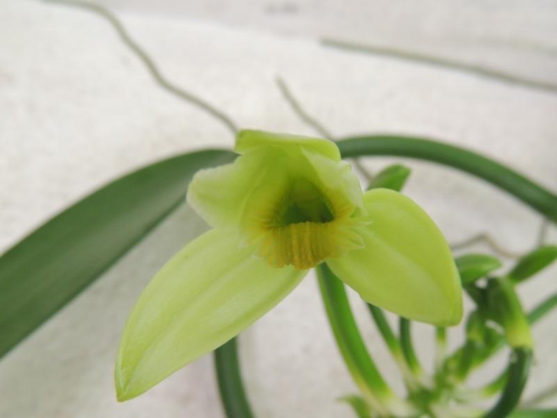 Culture et Entretien de la Vanilla Planifolia - Page 5 Dscn2225