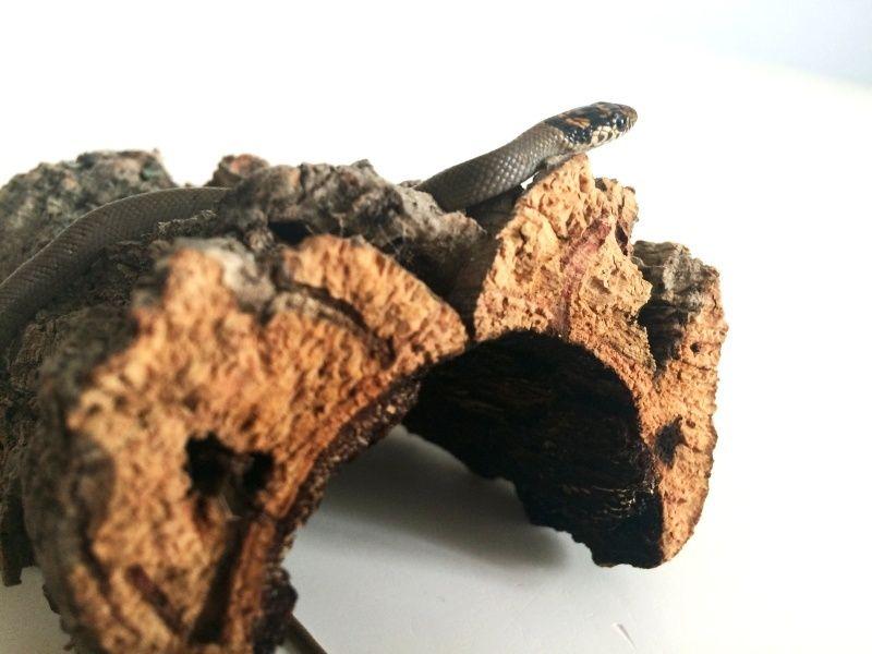 Naissance : Eirenis modestus modestus Img_0711