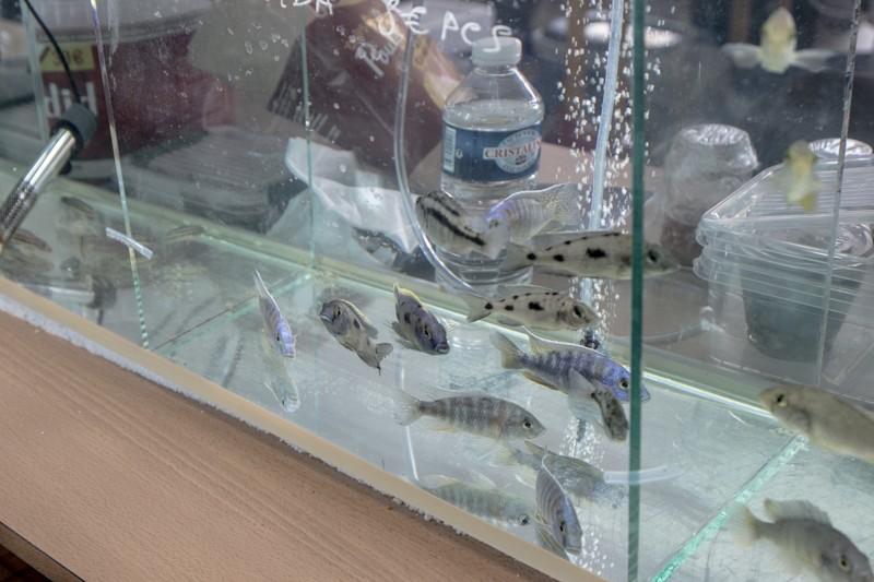 2ème bourse aux poissons de l'association Lille Aquariophile Club - Page 2 24042134
